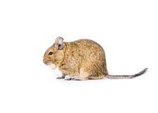 Animal de estimação Degu Fotografia de Stock