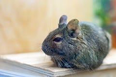 Animal de estimação de Degu que relaxa após comer animal exótico para a vida doméstica imagem de stock