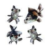 Animal de estimação do Goldfish isolado no fundo branco Imagem de Stock
