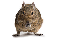 Animal de estimação do hamster de Degu Fotografia de Stock Royalty Free