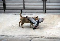Animal de estimação doméstico Cat Hunts e matanças um pombo foto de stock royalty free