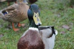 Animal de estimação dos animais selvagens da grama de scotland do pato Imagem de Stock Royalty Free