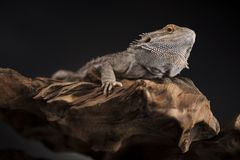 Animal de estimação, dragão farpado do lagarto no fundo preto imagem de stock