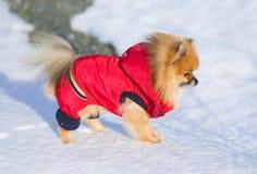 Animal de estimação em uma caminhada Imagem de Stock
