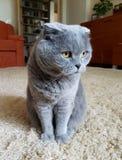 Animal de estimação favorito Gato imagem de stock