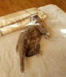 Animal de estimação favorito Gato da dobra do Scottish imagens de stock