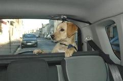 Animal de estimação no tronco de carro fotos de stock royalty free