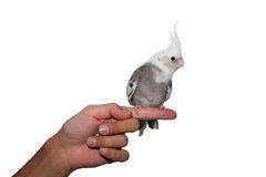 Animal de estimação do cockatiel de Whiteface Fotografia de Stock Royalty Free