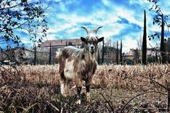 animal de exploração agrícola, cabra fotos de stock royalty free