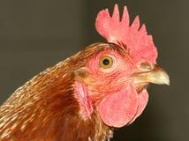 Animal de exploração agrícola da galinha da galinha   Foto de Stock Royalty Free