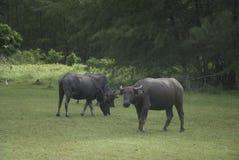 Animal de exploração agrícola da vaca Imagem de Stock