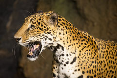 Animal de faune de grand chat, jaguar sud-américain Photos stock