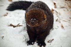 Animal de Fisher en nieve imagen de archivo