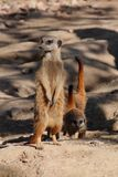 Animal de furet Images libres de droits