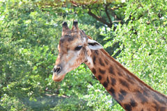 Animal de girafe dans le zoo Images stock