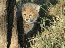 Animal de guépard Image libre de droits