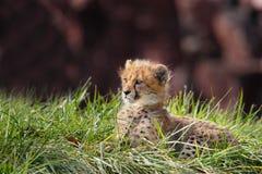 Animal de guépard Photo libre de droits