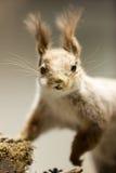 Animal de la ardilla Fotos de archivo libres de regalías