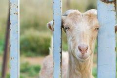 Animal de la cabra Fotos de archivo libres de regalías