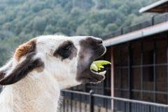 Animal de la llama mientras que come la comida fotos de archivo libres de regalías
