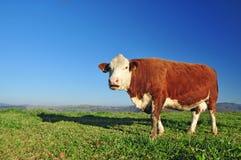 Animal de la vaca Fotografía de archivo