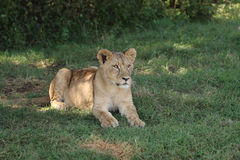 Animal de lion Photos stock