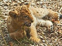 Animal de lion Images libres de droits