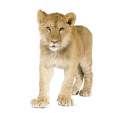 Animal de lion (8 mois) Images stock