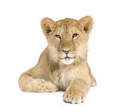 Animal de lion (8 mois) Photographie stock libre de droits
