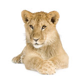 Animal de lion (8 mois) Images libres de droits