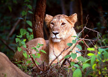 Animal de lion alerte Image libre de droits