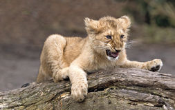 Animal de lion asiatique Photos stock