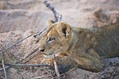 Animal de lion curieux dans la région sauvage africaine Photographie stock libre de droits