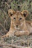 Animal de lion - Savuti - Botswana photo libre de droits