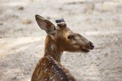 Animal de los ciervos en el bosque Fotos de archivo libres de regalías