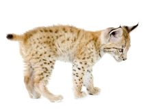 Animal de lynx (2 mounths) Photographie stock
