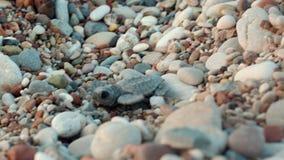 Animal de mar que sube en los guijarros del mar para regar Tortuga que busca el acceso al mar almacen de video