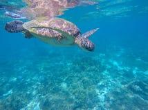 Animal de mar tropical Foto subacuática de la tortuga de mar grande Imágenes de archivo libres de regalías
