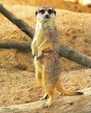 Animal de Meerkat fotografia de stock royalty free