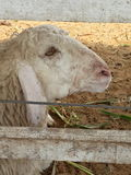 Animal de moutons Image stock
