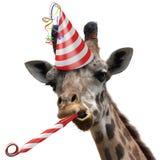 Animal de partido engraçado do girafa que faz uma cara parva e que funde um noisemaker imagem de stock