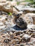 Animal de Pika dans le Colorado Image stock