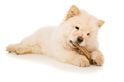 Animal de race, chow-chow de bouffe de chiot Photos stock