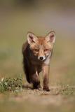 Animal de renard rouge Images libres de droits