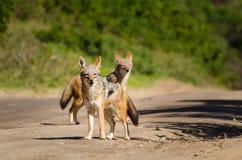 Animal de safari de l'Afrique du Sud de parc de kruger de chacals photo stock