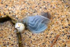 Animal de Shell dans le sable à la baie de Boyeghether de plage de trou de meurtre photo stock