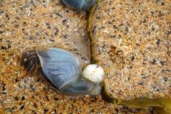 Animal de Shell dans le sable à la baie de Boyeghether de plage de trou de meurtre photo libre de droits