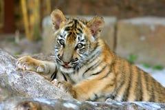Animal de tigre Photos stock