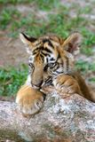 Animal de tigre Image libre de droits