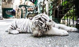 Animal de tigre images libres de droits